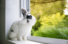 A Black And White Lionhead Mixed Breed Rabbit With Blue Eyes Looking Out A Window