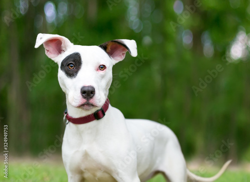 Fototapeta A Terrier mixed breed puppy with large floppy ears and a black eye patch outdoors obraz