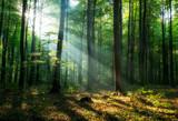 Fototapeta Las - Beautiful sunrise in green forest