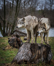 Two Wolves In The Midwest