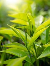 Closeup Photo Of Sun Shining On The Green Tea Leaves On The Bush