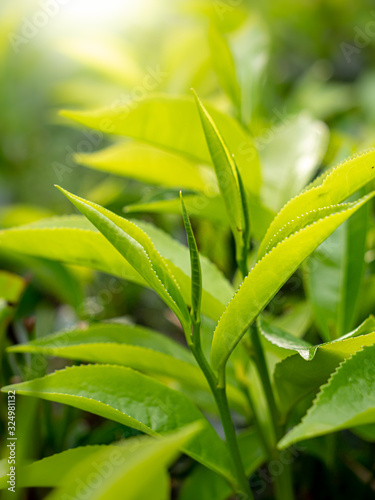 Closeup photo of sun shining on the green tea leaves on the bush Wallpaper Mural