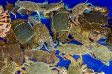 Flower Crab, Blue Swimmer Crab...