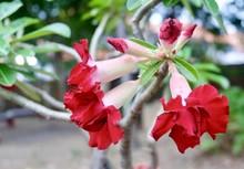 Beautiful Red Adenium Obesum Or Desert Rose