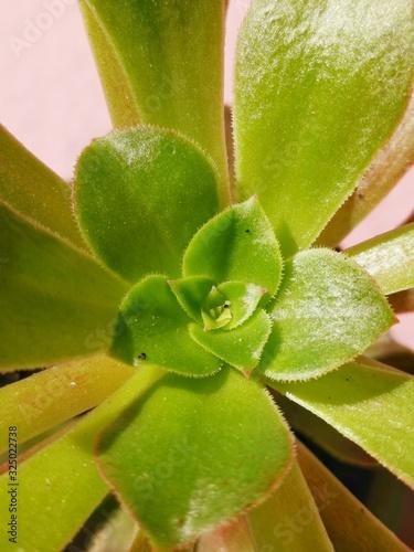Sempervivum tectorum,Common Houseleek, - perennial plant growing in flower pot Canvas Print