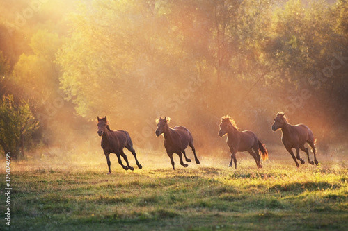 Fotografie, Obraz Horse herd galloping in sunlightwith dust at summer pasture