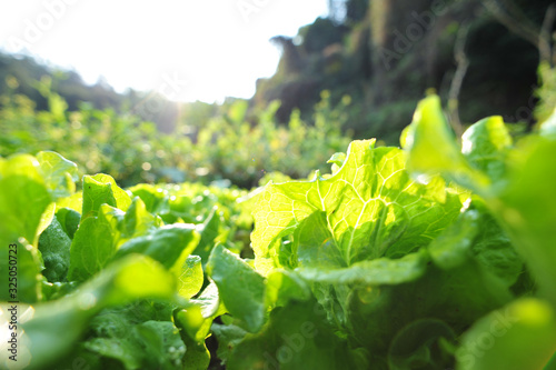 Fotografía Green lettuce in growth at vegetable garden