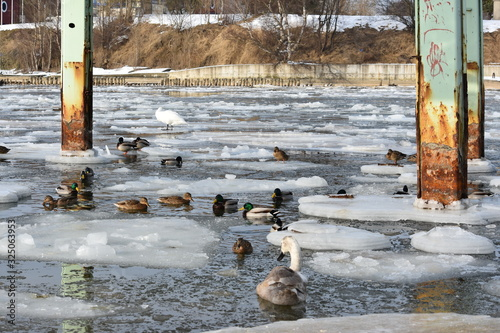 White mute swan couple and mallards swimming in icy water Wallpaper Mural