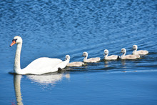 White Mother Swan Swimming With Little Chicks
