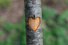 Symbol Of Heart Carved In Tree...