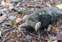 Dead European Mole (Talpa Europaea) Laying Upside Down On Back On The Ground In Forest