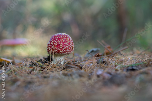Photo Beautiful red poisonous fly agaric (Amanita muscaria) mushroom in forest