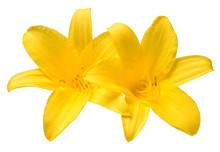 Two Head Flowers Yellow Day Li...