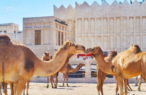 Lovely camels in Doha market, Qatar Fototapet