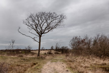 Single Tree Nature In The Dutch Dunes