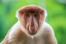 Wild Proboscis Monkey Or Nasal...