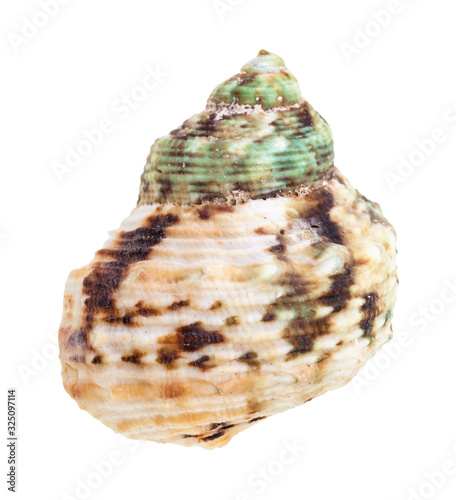 Canvastavla green and brown spotted shell of whelk mollusc