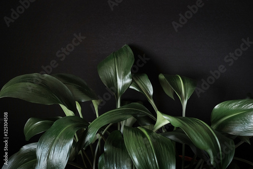Close up on a leafy green eucharis plant Fototapeta