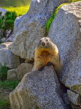 Gray Marmot Standing On Stones...