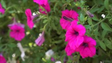 Color Of Nature Blooming Petun...