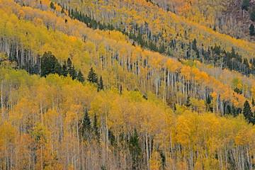 Fototapeta Drzewa Autumn landscape of aspens and conifers, Castle Creek Road, White River National Forest, Elk Mountains, Aspen, Colorado, USA
