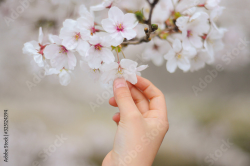 桜の花に触れる若い女性の手 Wallpaper Mural