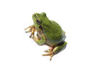 Green Frog Isolated On White (...