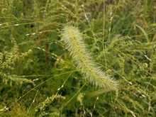 Fuzzy Green Plant Or Grass Up Close
