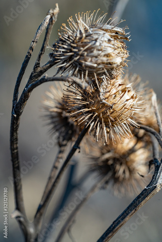 Burdock. Dry flower of agrimony closeup. Macro photography Wallpaper Mural
