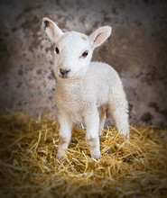 Young Lamb In A Barn