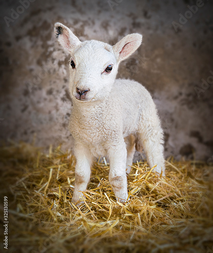 Photo Young lamb in a barn