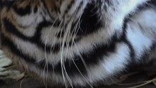 The Siberian Tiger Is Resting