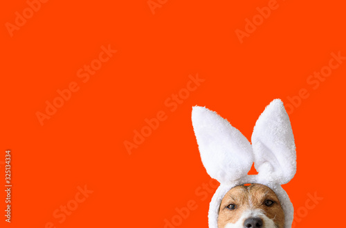 Photo Concept of Easter party with amusing dog wearing bunny ears on bright orange bac