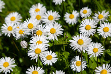 Flowering Of Daisies. Wild Bellis Perennis Flowers, White Blossoms With Yellow Center. Common Daisies Close Up. Lawn Daisy Or English Daisy Blooming In Meadow. Asteraceae Family.