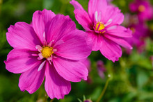 Beautiful Cosmos Flowers In Na...