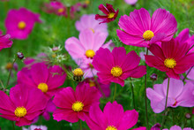 Beautiful Cosmos Flowers In Nature, Light Pink And Deep Pink Cosmos. Summer Floral Background.