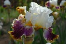 Tall Bearded Iris, Sordid Lives