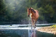 Chestnut Horse In River With S...