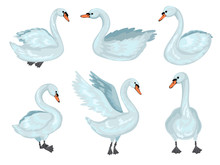 Swan In Different Poses. Collection Of Grey Swans. Vector Cartoon Illustration