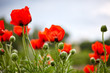 Colorful closeup of red poppy flowers in landscaped park as spring decoration. Fresh spring background on nature