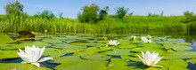 White Water Lilies Flow On A Summer River, Wide Summer Outdoor Scene