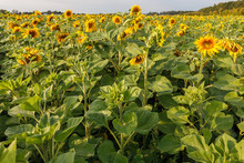 The Common Sunflower, Is A Lar...