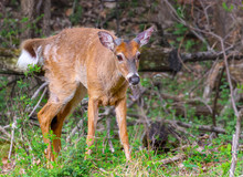 White Tailed Male Deer In Spring With Antlers Starting And Coat Transitioning From Winter To Summer