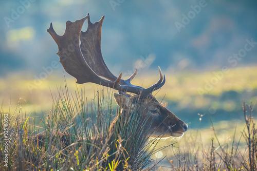 Fototapeta Fallow deer stag Dama Dama with big antlers obraz