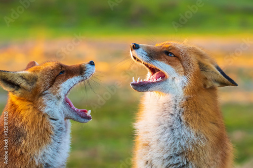 Canvastavla Two wild red foxes, vulpes vulpes, fighting