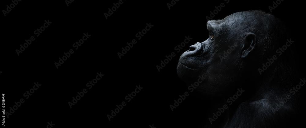 Fototapeta gorilla on a black background