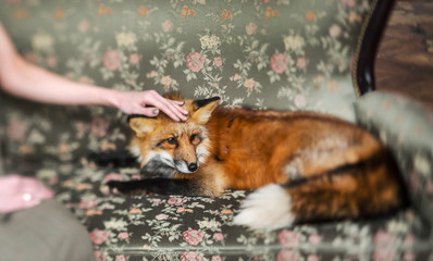 red fox and woman indoor