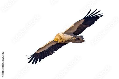 Photo Egyptian vulture on white background