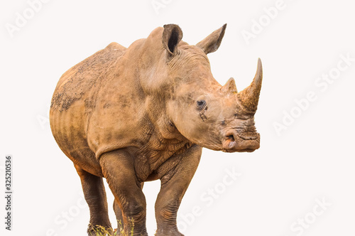 Fényképezés Portrait of a large white Rhinoceros or Rhino isolated on white taken in Kruger