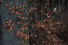 Dry Beech Leaves